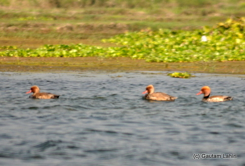Finally, we saw the Purbasthali's signature birds: the Red-crested Pochards, the reddish male swam alongside its female companion in Purbasthali by Gautam Lahiri