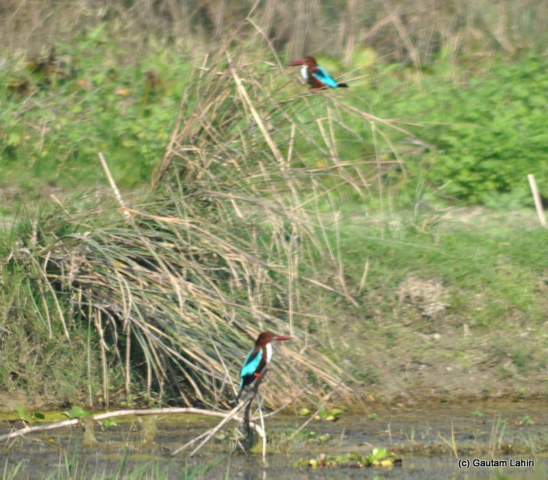 A pair of bronze headed kingfishers stood alert to the slightest movement of a fish below the water surface in Purbasthali by Gautam Lahiri