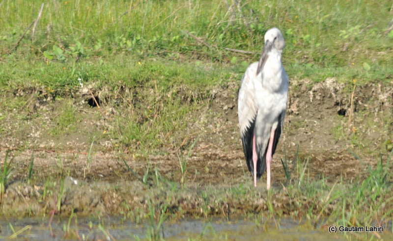 An Open Asian Bill stork intently looking at the water edge for an unsuspecting fish in Purbasthali by Gautam Lahiri