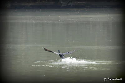 Cormorant lands on the lake surface as it prepares for a dive  at Kolkata, West Bengal, India by Gautam Lahiri