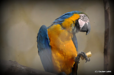 A Macaw holds a morsel of food as it prepares for its breakfast  at Kolkata, West Bengal, India by Gautam Lahiri