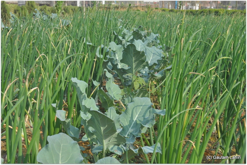 Long lines of cauliflower jutted out from within the green onion fields at Joypur resort, Bankura by Gautam Lahiri
