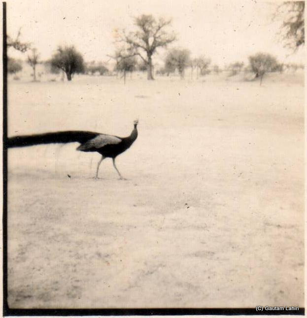 A peacock majestically walks past my father's camp, curious to see what these biped tall living beings are up to. Yonder in the distance, ghaf and khejri trees dot the barren horizon at Kishangarh, Rajasthan, India by Gautam Lahiri