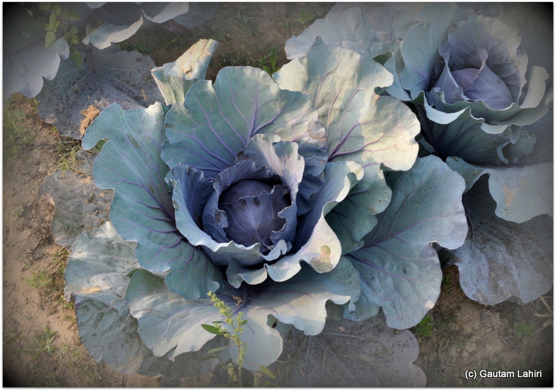Purple cabbage, a must for Chinese dishes that were served to please the diverse palate of the inmates at Joypur resort, Bankura by Gautam Lahiri