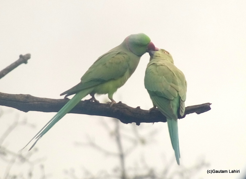 Indian Ring Necked Parakeet at Keoladeo Sanctuary, Bharatpur Rajasthan taken by Gautam Lahiri