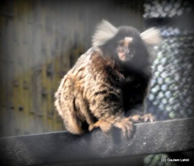 I was just enough lucky to catch this marmoset monkey perched on the iron beams in the cage for fleeting seconds before it disappeared into surrounding darkness  at Kolkata, West Bengal, India by Gautam Lahiri