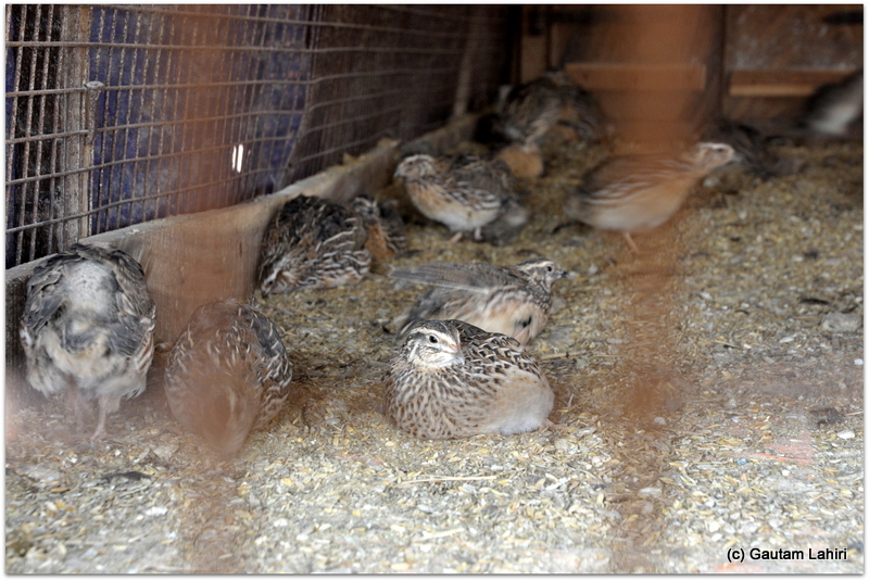 A sizable number of Quails sat snugly in their parlor, merrily making squeaks as we looked on at Joypur resort, Bankua by Gautam Lahiri