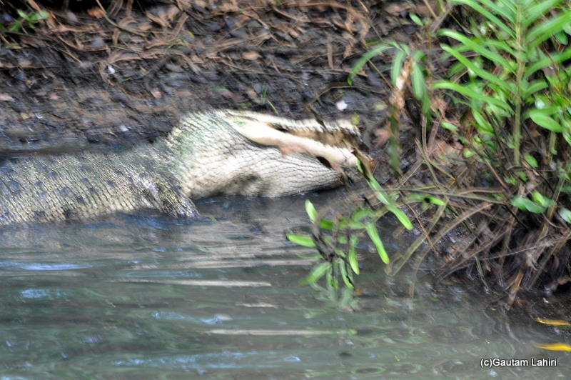 Gauri crocodile in Bhitarkanika taken by Gautam Lahiri