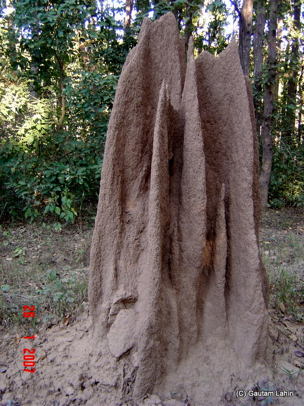 A huge termite hill. The engineering skills of these artisans were worth thousand praises at Kanha forest by Gautam Lahiri