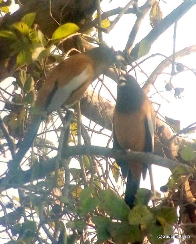 Rufous Treepie on a branch at Keoladeo Sanctuary, Bharatpur Rajasthan taken by Gautam Lahiri