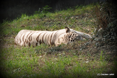 A White Tiger stretches to catch the afternoon sun  at Kolkata, West Bengal, India by Gautam Lahiri