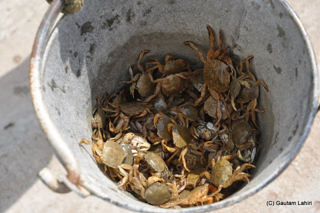 Crabs caught by the fishermen at Diamond Harbor, West Bengal, India by Gautam Lahiri