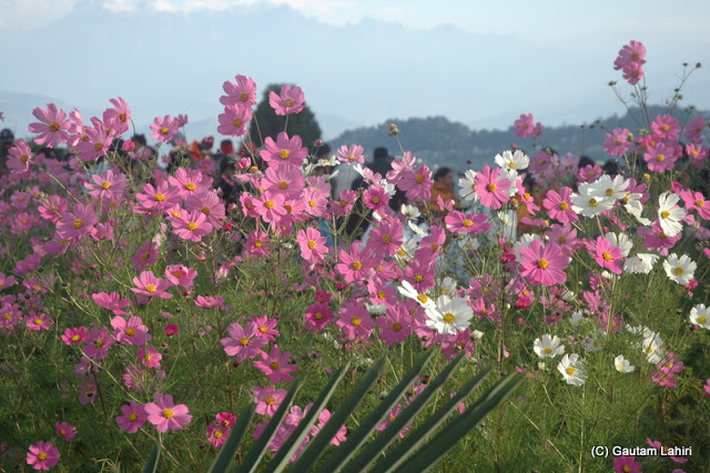 Flowers with their gentle colors drew crowds in large numbers  at Darjeeling, West Bengal, India by Gautam Lahiri