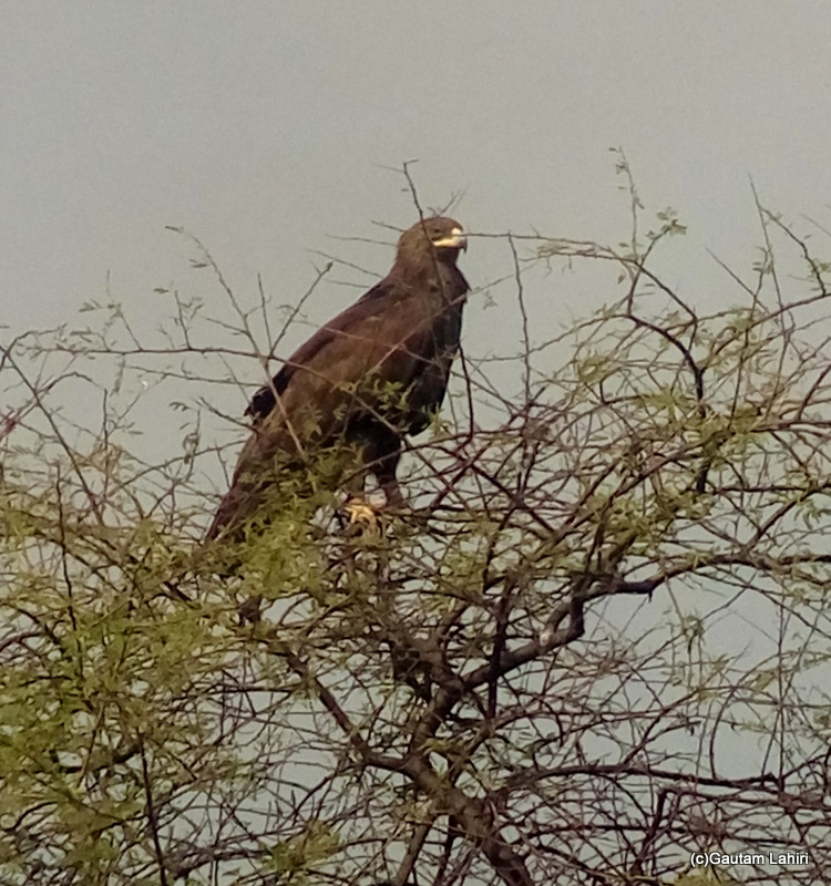 Steppe Eagle, sitting on a high branch
