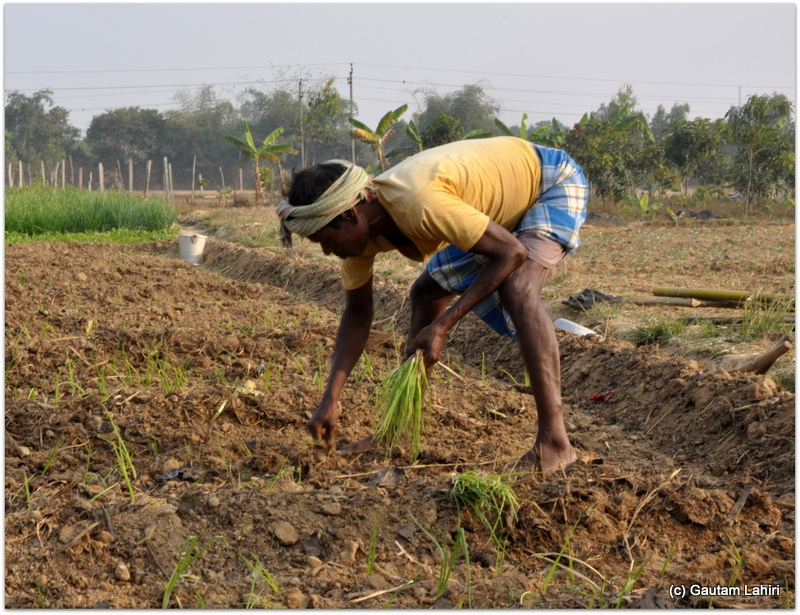 Seen here, is a farmer sowing the seeds after uprooting the topsoil at Joypur resort, Bankura by Gautam Lahiri