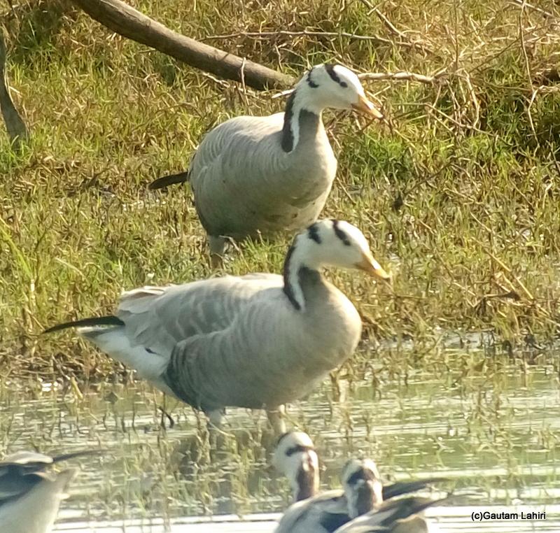 Bar headed geese at Keoladeo Sanctuary, Bharatpur Rajasthan taken by Gautam Lahiri