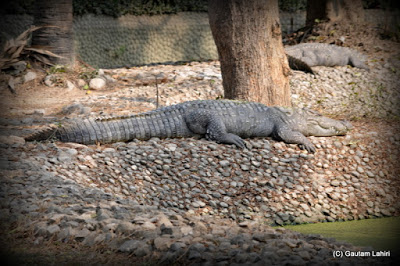 A marsh crocodile basks under a tree to surprise an unsuspecting victim  at Kolkata, West Bengal, India by Gautam Lahiri