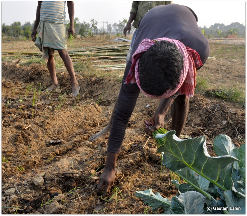 Farmland getting copious supply of seeds that are grown, collected and replenished for the succeeding season at Joypur resort, Bankura by Gautam Lahiri
