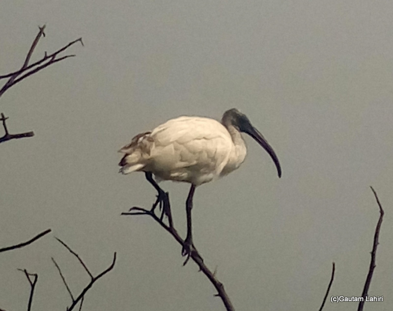 Black headed Ibis on the branches at Keoladeo Sanctuary, Bharatpur Rajasthan taken by Gautam Lahiri