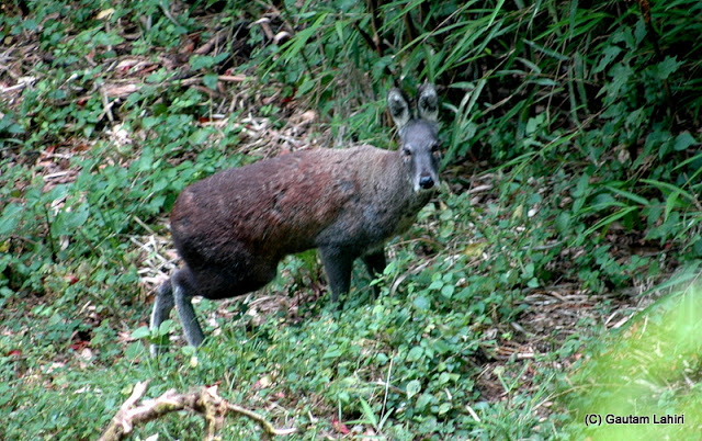 The musk deer are known for its scent which he emits used as a fragrance by the city yuppies to make their presence felt  at Darjeeling, West Bengal, India by Gautam Lahiri
