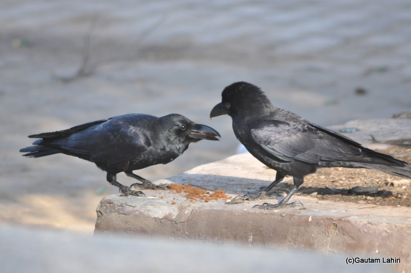 Two Raven together at Keoladeo Sanctuary, Bharatpur Rajasthan taken by Gautam Lahiri