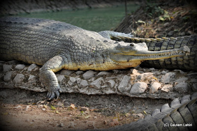 A Gharial crocodile mainly eats fishes enjoys the afternoon winter sun  at Kolkata, West Bengal, India by Gautam Lahiri