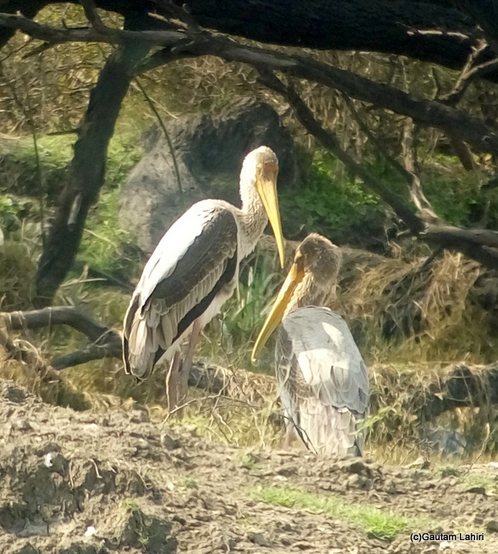 Juvenile Painted Stork at Keoladeo Sanctuary, Bharatpur Rajasthan taken by Gautam Lahiri