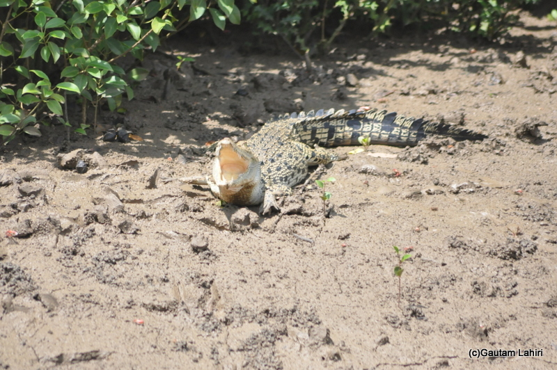 Baitarani river crocodile in Bhitarkanika taken by Gautam Lahiri