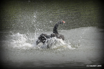 A Black Swan grooms herself and flutters away the lake water  at Kolkata, West Bengal, India by Gautam Lahiri
