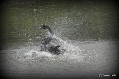 A water mist bursts as a Black Swan shakes its neck  at Kolkata, West Bengal, India by Gautam Lahiri