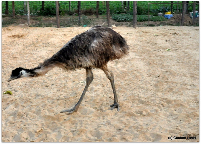 Emu scouring for morsels of food over the sandy terrain in its strong cage at Joypur resort, Bankura by Gautam Lahiri