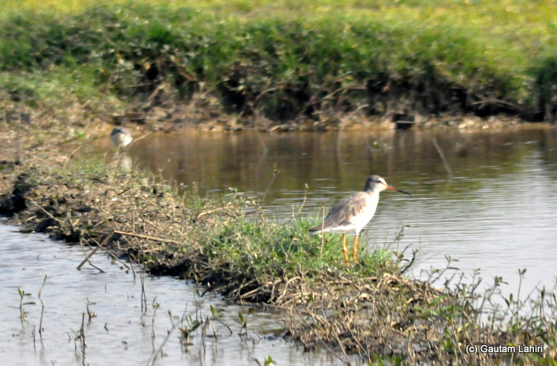 A wood sandpiper trudging over the muddy bank for morsels of food in Purbasthali by Gautam Lahiri