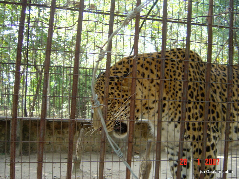 The leopard in captivity known to have wiped out a complete family. The cat stalked its human preys for three years before forest officials were able to capture at Pench forest by Gautam Lahiri