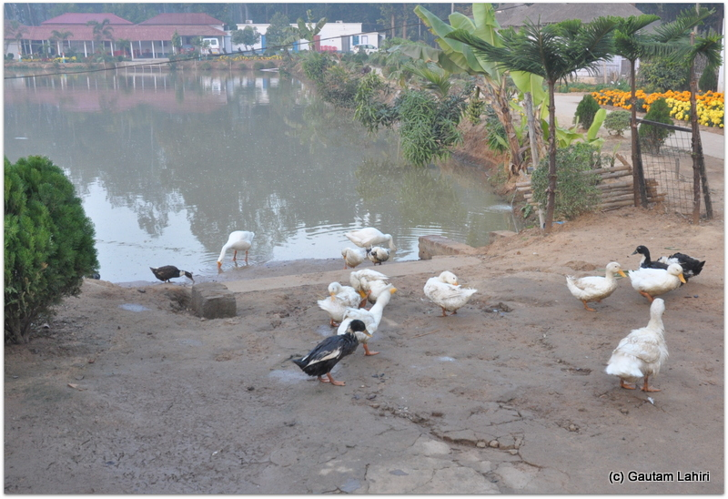 A battalion of ducks roamed near the lakefront, completely ignoring us as we closed in at Joypur resort by Gautam Lahiri