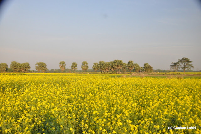 Mustard field swaying in the lake breeze around the lake in Purbasthali by Gautam Lahiri