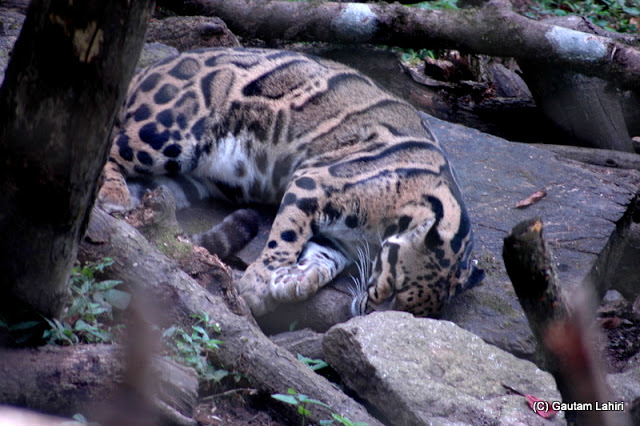 Clouded leopard, extremely rare..rolled on his side to catch the sun  at Darjeeling, West Bengal, India by Gautam Lahiri