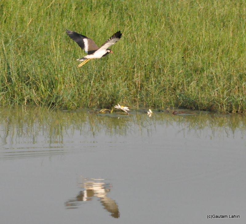 Red wattled lapwing flies in Bhitarkanika taken by Gautam Lahiri