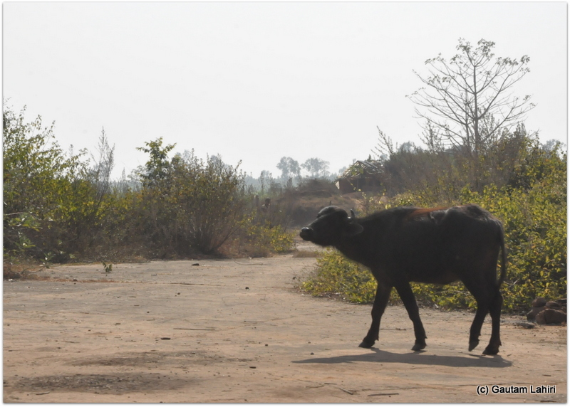 What greeted us was no Flight attendant or pilot officer but a lone buffalo happily grazing in solitude. Showed its anger by a bellow on the British airfield at Joypur jungle, Bankura by Gautam Lahiri