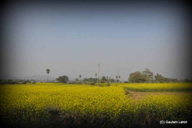 Mustard fields formed a yellow velvet carpet under the blue sky made us park and touch the soft plants  at Massanjore, Jharkhand, India by Gautam Lahiri