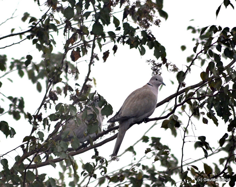 A Eurasian Collared-dove was a gift for us that morning at Bosipota by Gautam Lahiri