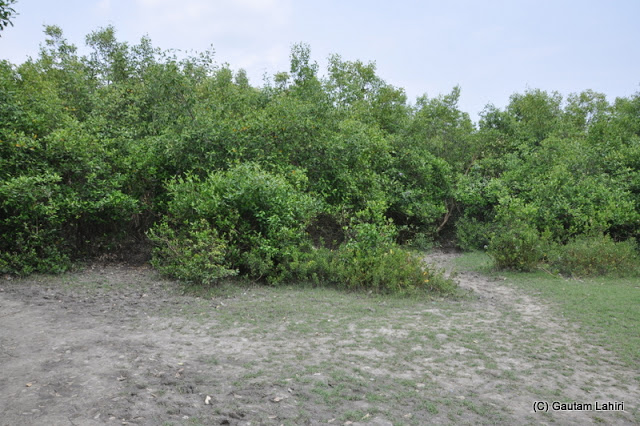 Sundri and mangrove formed the undergrowth that led us to the bank of Ichamati at Taki, West Bengal, India by Gautam Lahiri