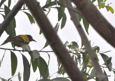 A yellow Oriole through the trees and branches at Bosipota by Gautam Lahiri