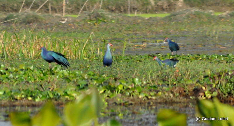 The Indian Purple Moorhen, a family of them were looking at the water surface, laden with water hyacinth and marsh for fish and shellfish by Gautam Lahiri