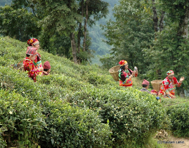 Women and children working in the tea gardens and throwing the tea leaves behind them in the basket that they carry  at Darjeeling, West Bengal, India by Gautam Lahiri