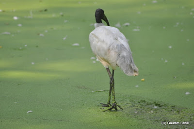 A White Ibis explores the green lake for snails and frogs  at Kolkata, West Bengal, India by Gautam Lahiri