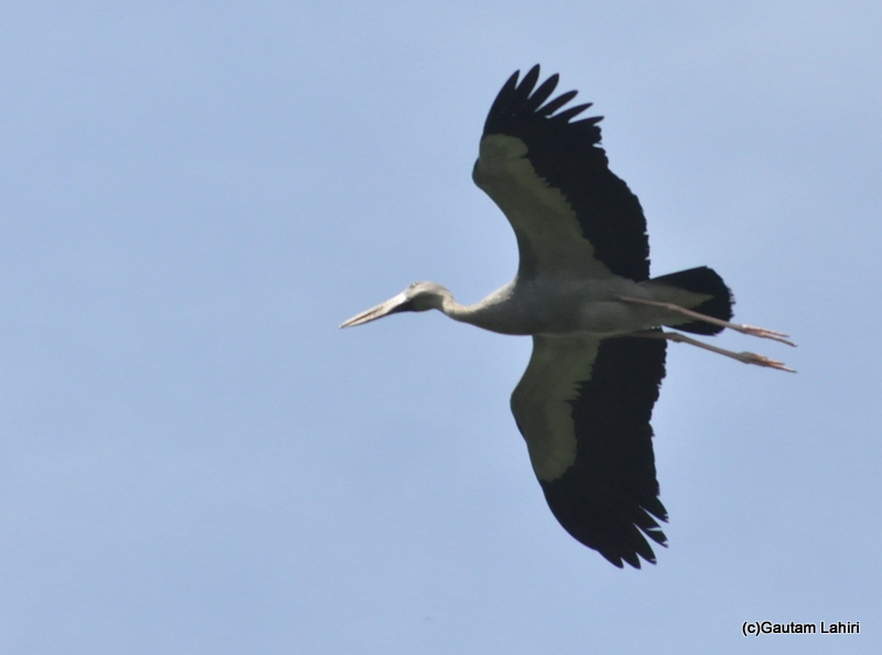 Open bill stork flying in Bhitarkanika taken by Gautam Lahiri