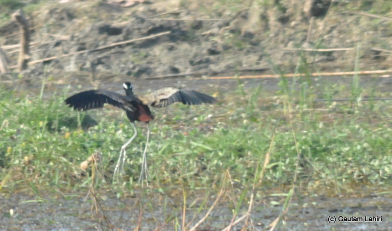 A bronze-winged jacana took off spreading its large wings as our boat homed in for a closer look in Purbasthali by Gautam Lahiri