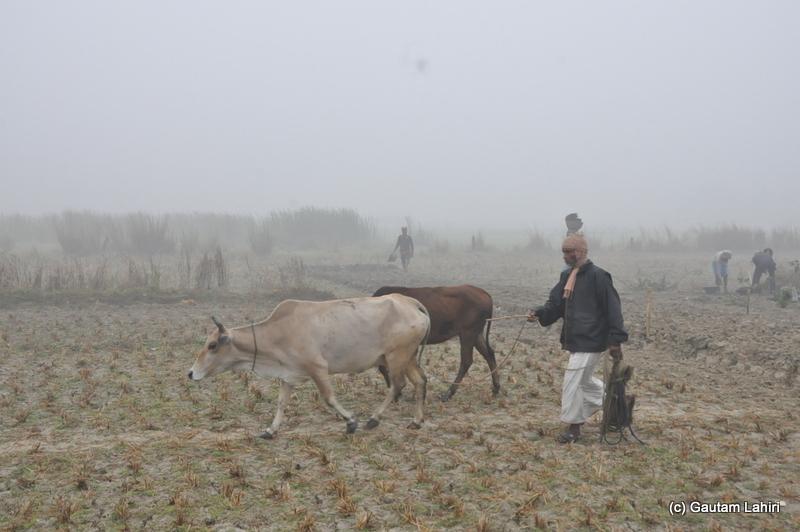 Animals grazing on the dry ground at Bosipota by Gautam Lahiri