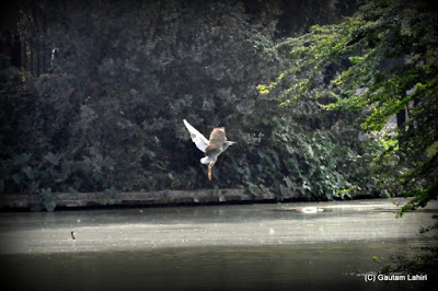 A bird skims over the lake to align with the branches above  at Kolkata, West Bengal, India by Gautam Lahiri