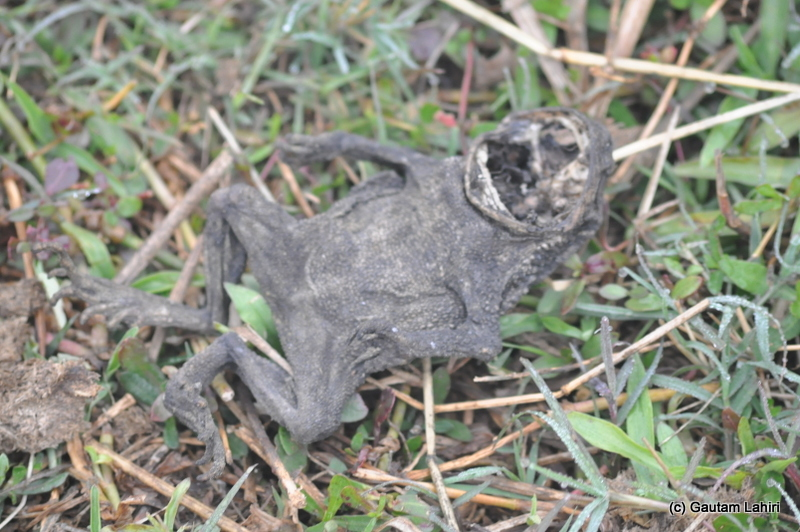 A fossilized frog carcass at Bosipota by Gautam Lahiri